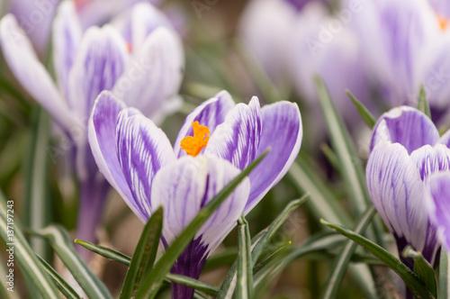 purpurowy-krokus-w-przyrodzie-zblizenie-na-kwiaty