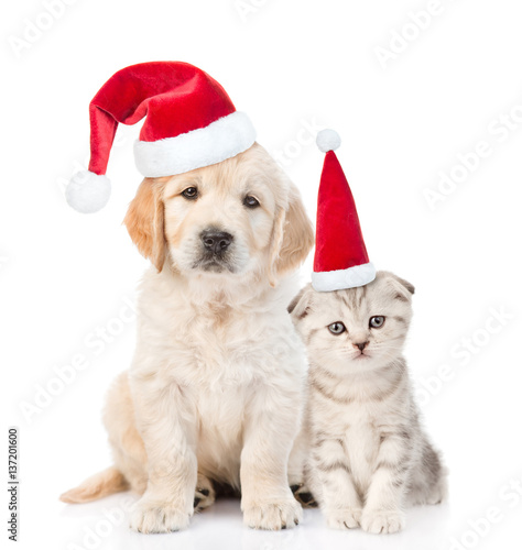 Funny Kitten And Golden Retriever Puppy In Red Christmas Hats