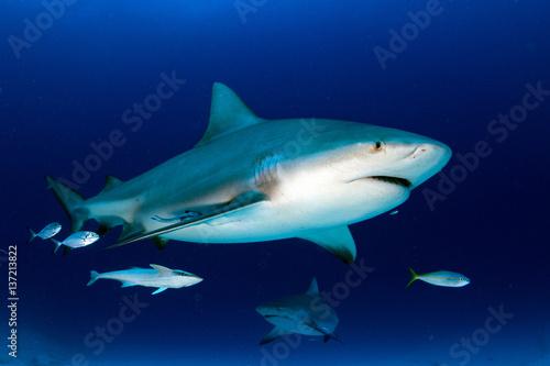 bull shark in the blue ocean background