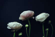 Ranunculus On Black Background With Instagram Effects