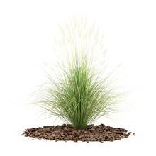 Ornamental Grass Plant Isolated On White Background