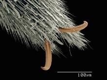 Scanning Electron Micrograph Of The Tarsus Of Water Strider (Hemiptera: Gerridae)