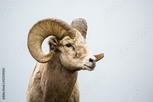 Fotografie, Obraz  Wild Bighorn Ram against grey neutral background