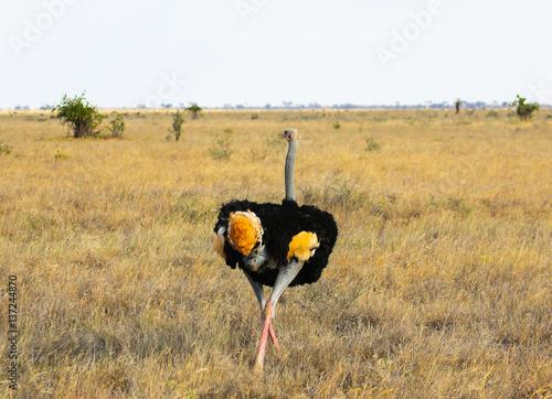 Struthio camelus (Ostrich) - Tsavo East, Kenya