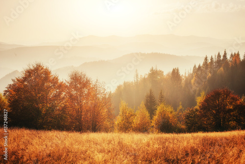 birch forest in sunny afternoon while autumn season. #137248827