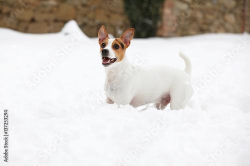Fototapeta Jack russell terrier moving in winter obraz na płótnie