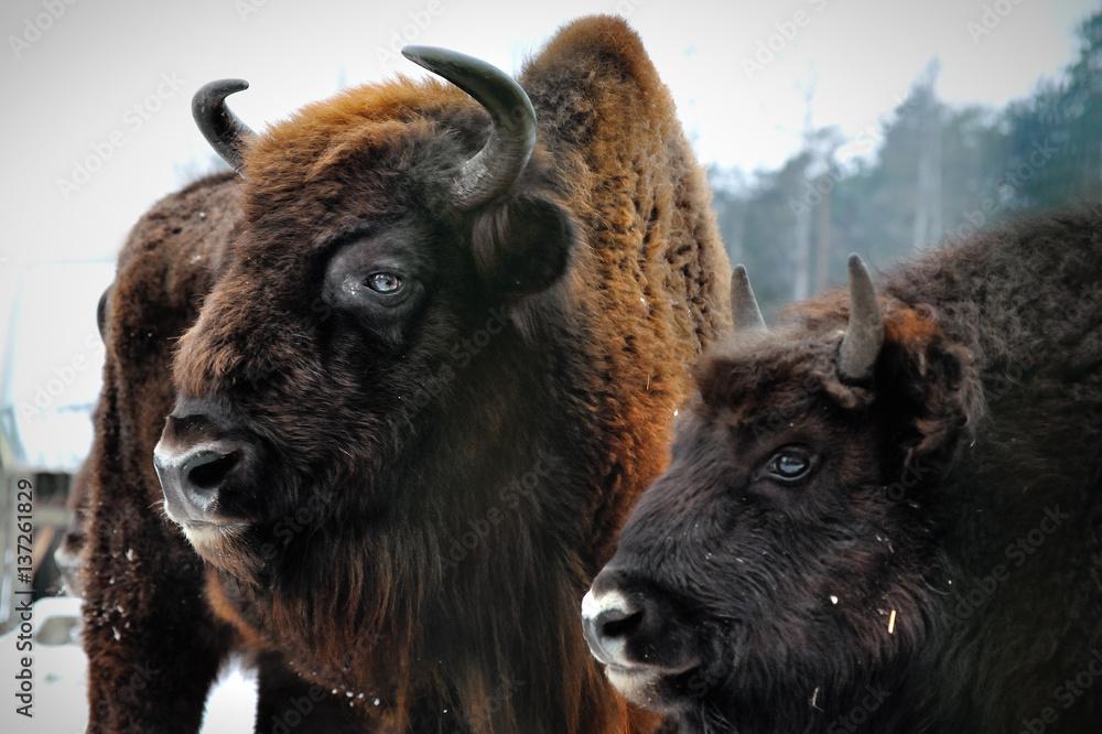 Fényképezés  two portrait of European bison in winter