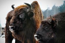 Two Portrait Of European Bison In Winter