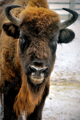 Fototapeta  head of European bison in winter