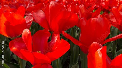 Keuken foto achterwand Rood traf. Tulips in Dutch public Spring flower Garden Keukenhof Lisse, Zuid Holland, NLD