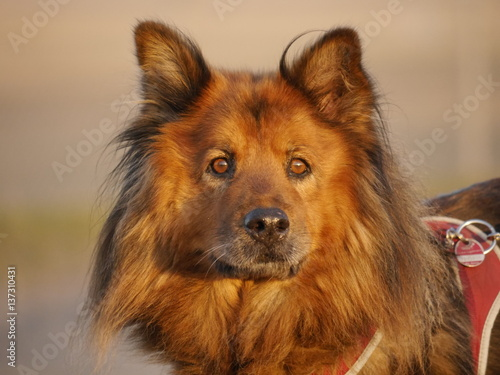 Chow Chow Australian Shepherd Mischling Buy This Stock Photo And Explore Similar Images At Adobe Stock Adobe Stock