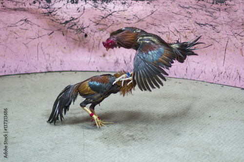 A gamecock is a type of rooster with physical and behavioral
