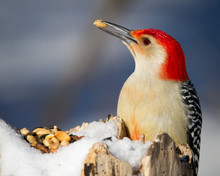 Red-bellied Woodpecker In Wint...