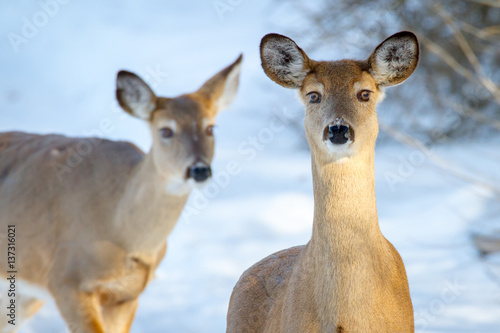 Photo White-tailed Deer (does) in winter.