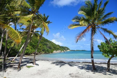 palmier sur la plage au bord de mer en guadeloupe