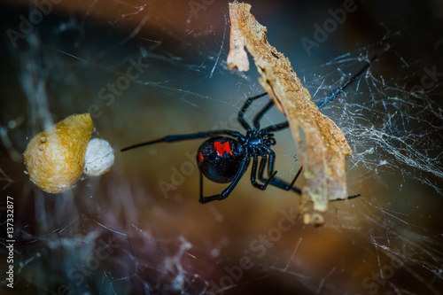 Photo Black Widow Spider - Latrodectus mactans