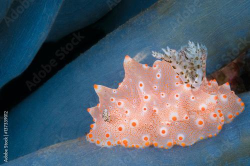 Underwater shot of an orange and white nudibranch, Halgerda batangas, Komodo, Indonesia, Indo-Pacific.