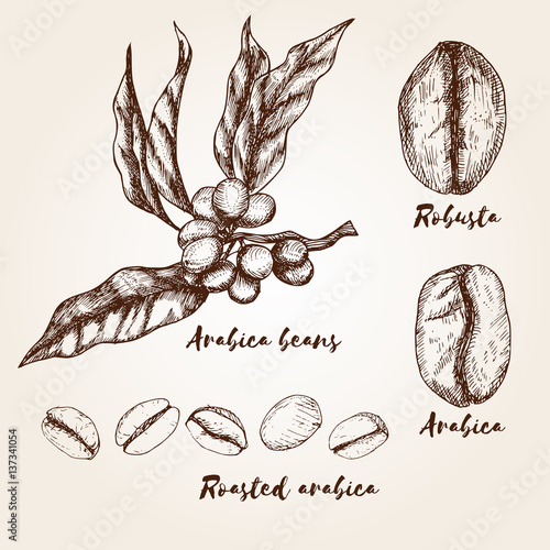 Hand drawn arabica and robusta beans. Types of coffee beans. Wallpaper Mural