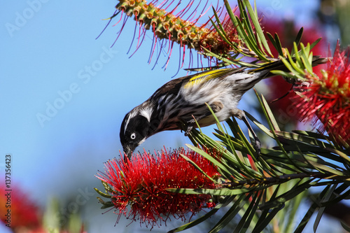 Photo  Close up of a New Holland honeyeater feeding on a blossom, Esperance, Western Au