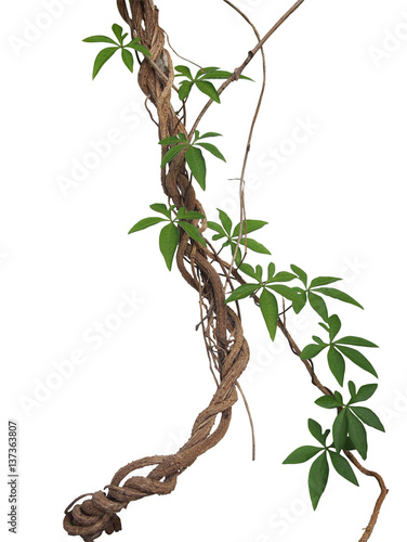 Photo Twisted big jungle vines with leaves of wild morning glory liana plant isolated on white background, clipping path included
