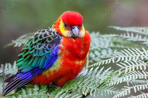 Photo  Close up of a colorful Western rosella perching on leaves, Gloucester National P