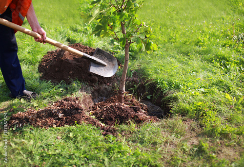 Man plants a tree, hands with shovel digs the ground, nature, environment and ecology concept