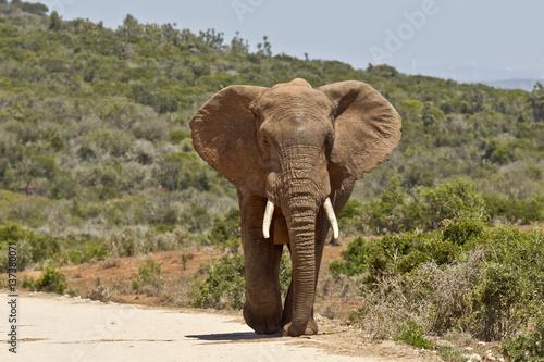 Foto op Aluminium Olifant Large male elephant walking along a dirt road