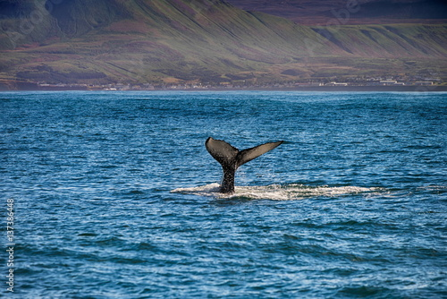 Photo  Tail of a whale in Husavik, Iceland