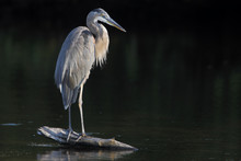 Great Blue Heron (Ardea Herodi...