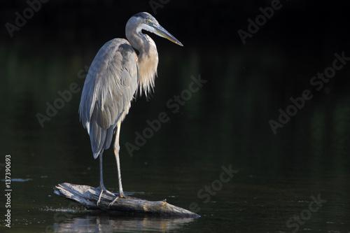Great blue heron (Ardea herodias) standing on log in water, Ding Darling NWR, Fl Fototapeta