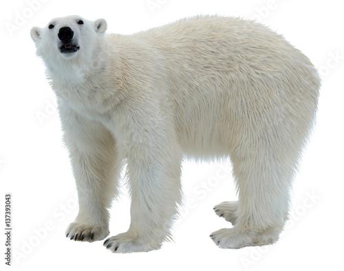 Wall Murals Polar bear Polar bear isolated on white
