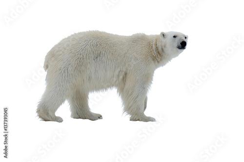 Polar bear isolated on white Fototapeta