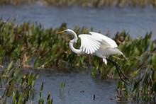 Great Egret At Viera Wetlands ...