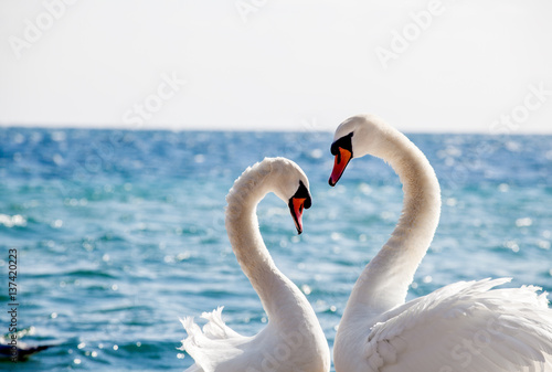 Foto op Canvas Zwaan Swan couple