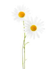 Two Chamomiles (Ox-Eye Daisy )  Isolated On White Background.