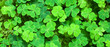 Leinwanddruck Bild - Green background with three-leaved shamrocks. St.Patrick's day holiday symbol. selective focus