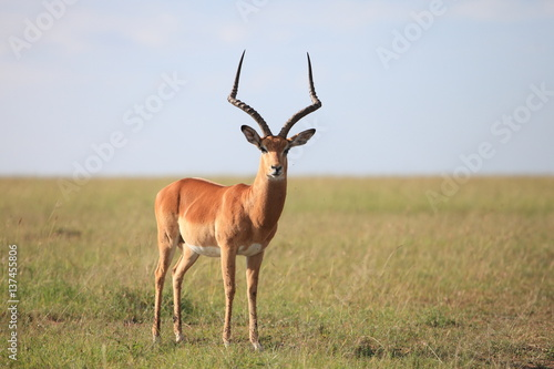 Foto op Canvas Antilope Impala