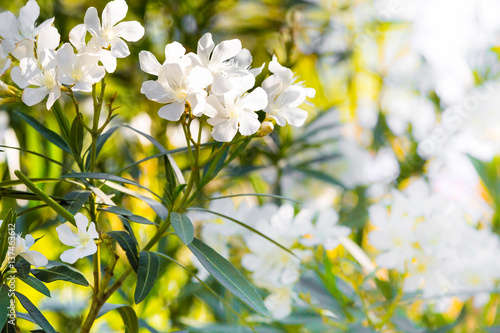 White oleander flowers spring or summer holiday background buy white oleander flowers spring or summer holiday background mightylinksfo