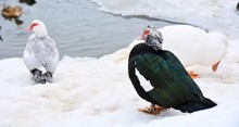 Group Of Three Muscovy Ducks S...