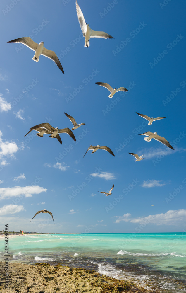 Hungry seagull flying over tropical beach.Cuba.