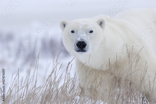 Polar bear walking in grass, Manitoba, Canada