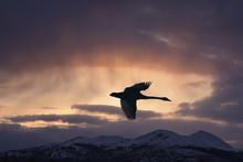 Trumpeter Swan In Flight Over Marsh Lake At Sunset, Yukon Territory, Canada