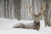 Wapiti Enjoying The Snow Storm...