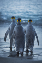 Three King Penguins (Aptenodytes Patagonicus) Are Crossing A Wet, Sandy Beach On Their Way To The Ocean, With Grey Backs And Flippers With Black And Orange Heads; Antarctica