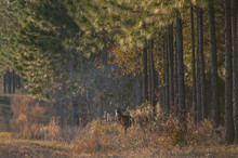 White-tailed Deer Buck (Odocoi...