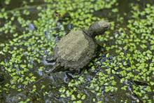 Baby Snapping Turtle Leaving The Nest