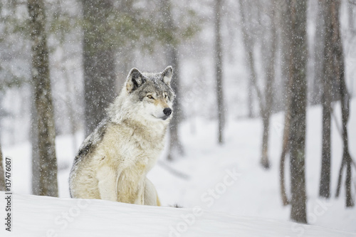 Wolf sitting in snowfall in forest