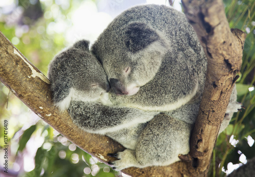 Mother and baby koala bears (Phascolarctos cinereus) cuddled up in a tree; Noosa, Queensland, Australia