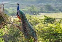 Peacock Or Pavo Cristatus