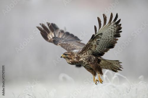 Carta da parati  Eurasian buzzard